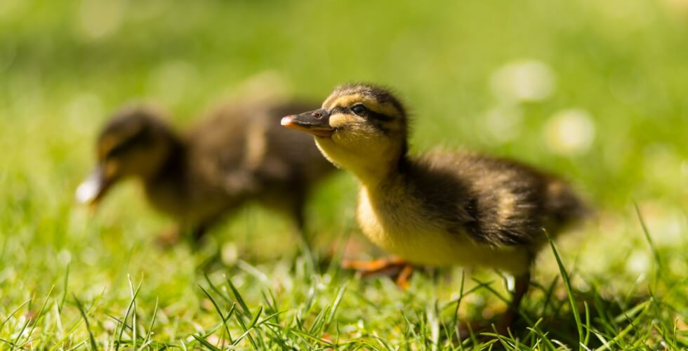 little duckling walking on grasses